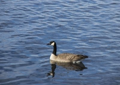 Chestermere goose